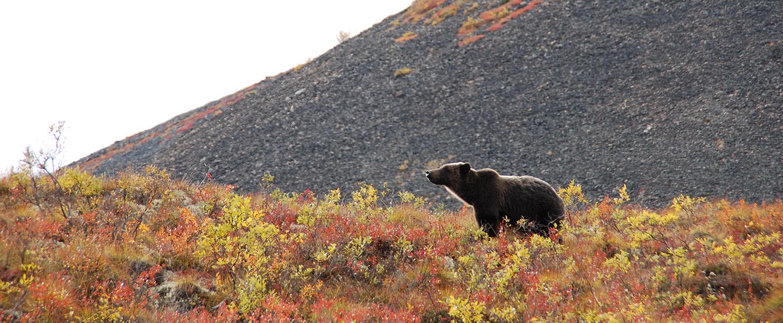 yukon wildlife bear