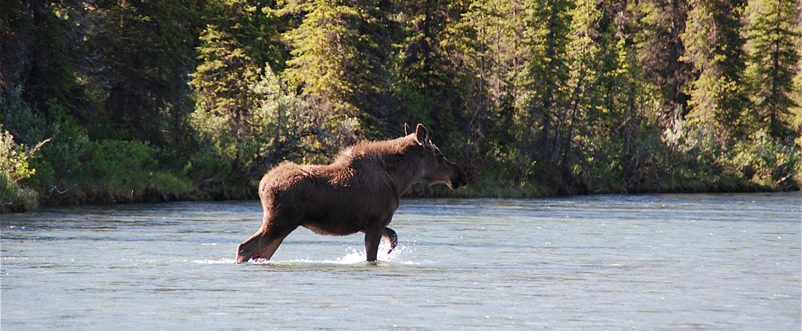 Moose crossing the Wind River